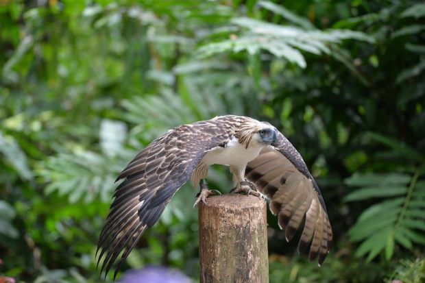 Davao sanctuary offers hope for endangered Philippine eagle